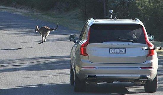 Volvo предотвратит ДТП с участием кенгуру